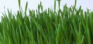 Erba di grano, scopri gli innumerevoli benefici del grano germogliato